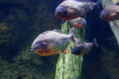 Piranha fish Black PACU . Stock Photo
