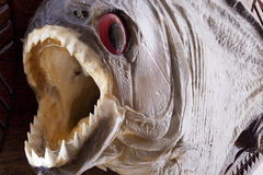 Piranha fish close up. With mouth wide open and showing sharp teeth Stock Image
