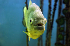 Piranha fish Royalty Free Stock Photo