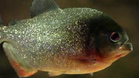 Piranha Fish stock video footage