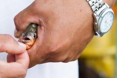 Piranha fish Royalty Free Stock Photos