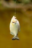 Piranha Fish Hanging By Fishing Line Royalty Free Stock Photos