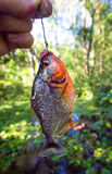 Piranha on a Fish Hook Royalty Free Stock Images