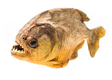 Piranha fish on isolated Stock Images