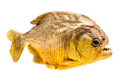 Piranha fish on isolated. With white background Stock Image