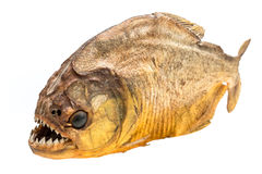 Piranha fish on isolated. With white background Royalty Free Stock Photos