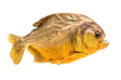 Piranha fish on isolated Royalty Free Stock Photography