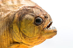 Piranha fish on isolated Stock Photography