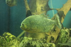 Piranha fish Stock Images