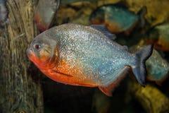 Piranha fish. Swimming in an aquarium close up shot Stock Photography