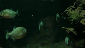 Piranha fish in their natural habitat stock video