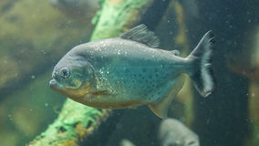 Piranha fish underwater Stock Images