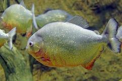 Piranha fish underwater Stock Photos