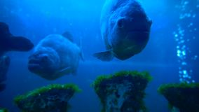 Piranha fishes in blue water. In aquarium in the zoo stock video footage