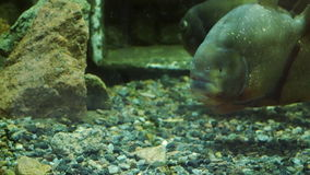 Piranha floats in the water and looks toward the camera stock video