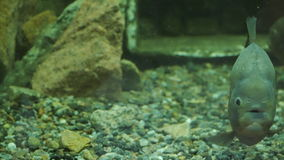 The piranha floats in the water and looks toward the camera. Close-up of fish stock video