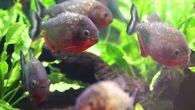 Piranha freshwater fish stock video