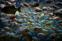 Piranha with gold Royalty Free Stock Photography