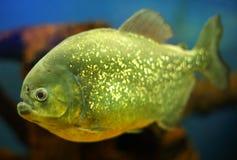 Piranha. Golden color piranha swim in aquarium Royalty Free Stock Photo