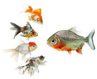 Piranha and goldfish. Side view of four goldfish swimming towards piranha; isolated on white background Stock Photo