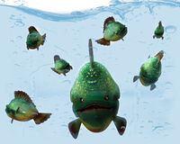 Piranha. Royalty Free Stock Photo