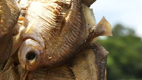 Piranha hanging from a tree drying. Piranha drying in the sun close up stock video footage