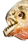 Piranha Head Skull Royalty Free Stock Photos
