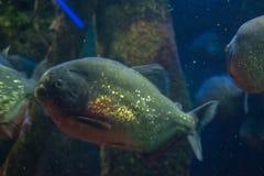 Piranha in het diepe water stock fotografie