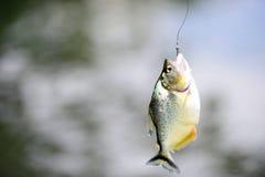 Piranha on hook Royalty Free Stock Image