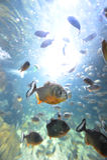 Piranha in hun habitat Stock Afbeelding