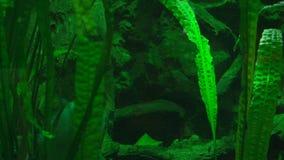 Piranha i deras naturliga livsmiljö arkivfilmer