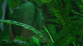 Piranha i deras naturliga livsmiljö lager videofilmer