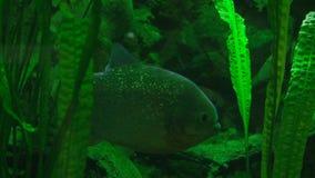 Piranha i deras naturliga livsmiljö stock video