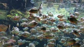 Piranha im Aquarium, das ihr Lebensmittel erhält stock footage