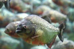 Piranha inchada vermelho que nada debaixo d'água. imagens de stock royalty free