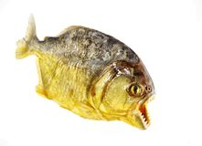 Piranha isolated. Colorfull hungry jaw Stock Images