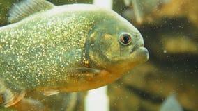 Piranha nattereri im Aquarium stock video