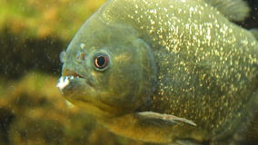 Piranha nattereri, Nahaufnahme stock footage