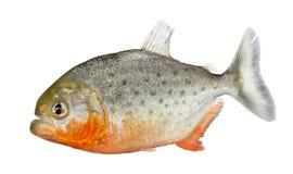 Piranha - nattereri Serrasalmus Royalty-vrije Stock Foto