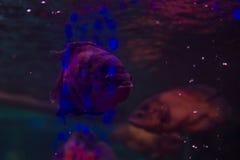 Piranha nell'acquario pesce con le scaglie brillanti Pesce pericoloso Indicatore luminoso luminoso Fotografia Stock Libera da Diritti