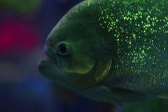 Piranha no aquário peixes com escalas brilhantes Peixes perigosos Luz brilhante Foto de Stock Royalty Free