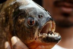 Piranha in Peruvian Amazon. A freshly caught piranha in the Peruvian Amazon stock photo