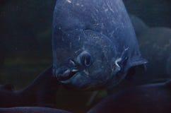 Piranha. A piranha or piraña /pᵻˈrɑːnjə/, /pᵻˈrænjə/, or /pᵻˈrɑːnə/; Portuguese: [piˈɾɐ̃ɲɐ], Spanish: [piˈɾaɲa] is a member of family Royalty Free Stock Photo