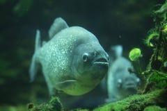 Piranha (piraya de Pygocentrus) Images stock