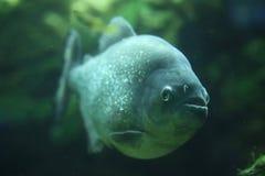 Piranha (piraya de Pygocentrus) Image stock