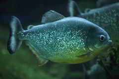 Piranha (piraya de Pygocentrus) Photographie stock libre de droits