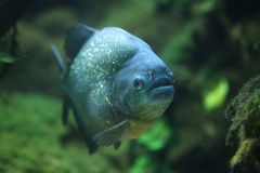 Piranha (piraya de Pygocentrus) Photo stock