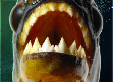 Piranha - plan rapproché de dents Image libre de droits