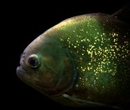 Piranha portrait Stock Photos