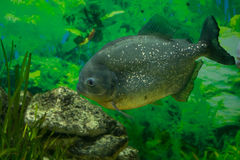 Piranha - predator fish Royalty Free Stock Image